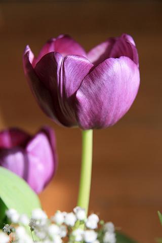 iphone wallpaper tulipe
