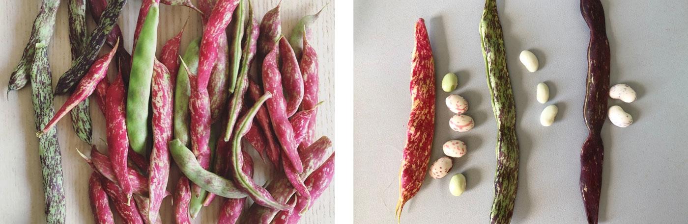 Les haricots du jardin : zébrés roses, violets ou verts, avec leurs fêves un peu colorées elles aussi